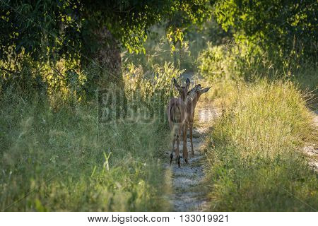Female Impala Nuzzling Each Other On Track