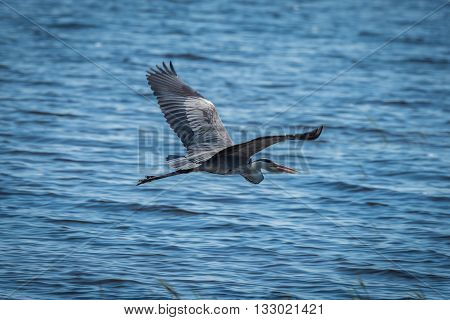 Grey Heron With Wings Spread Over Water