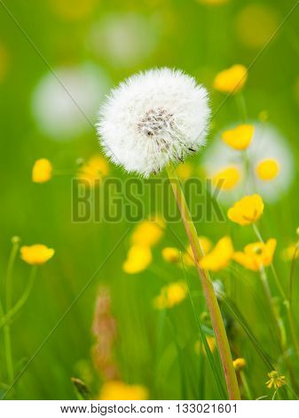 Overblown dandelion flower in the green spring meadow