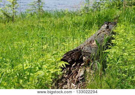 old fallen tree and collapsed in the green grass1