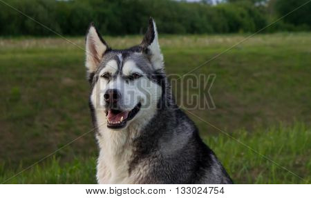 the dog, breed a malamute, sits on a country road, a green grass, the summer period, evening, a portrait