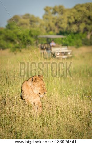 Lion Lying In Grass With Jeep Behind