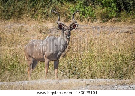 Male Greater Kudu Stands In Grass Facing Camera