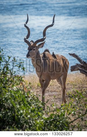 Male Greater Kudu With Oxpeckers On Back