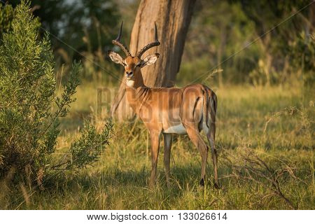 Male Impala In Golden Light Facing Camera