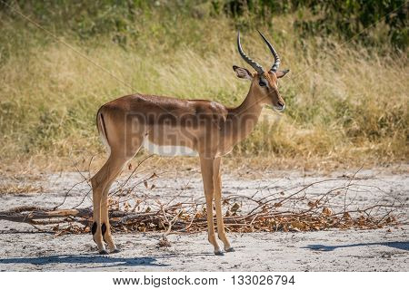 Male Impala On Sandy Ground Turning Head