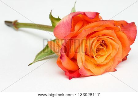 Closeup of an orange rose on white