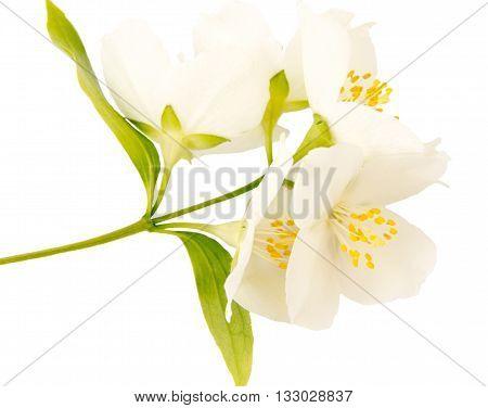Jasmine white flower isolated on white background.