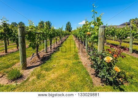 Napier New Zealand - November 19 2014: New Zealand's wine country is located in Napier near Hawke's Bay - Vineyards North Island New Zealand.