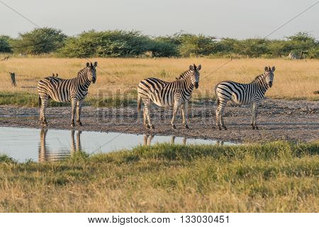 Three Burchell's Zebra In Line Beside Water