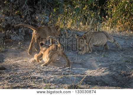 Three Lion Cubs Playing On Dusty Ground
