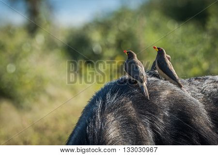 Three Yellow-billed Oxpeckers On Back Of Buffalo