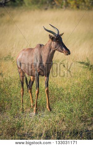 Tsessebe Standing On Grassy Plain  Facing Camera