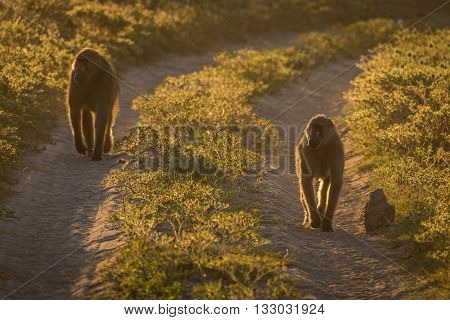 Two Chacma Baboons Walking Along Sandy Track
