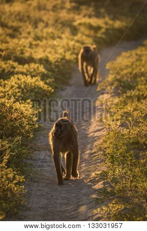 Two Chacma Baboons Walking Down Sandy Track