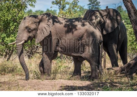 Two Elephants Beneath Tree In Dappled Sunlight