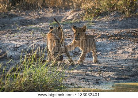Two Lion Cubs Playing On Dusty Ground