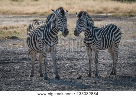 Two Zebra Nose To Nose On Savannah