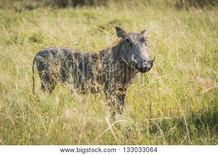 Warthog In Grass Facing Camera In Sunshine