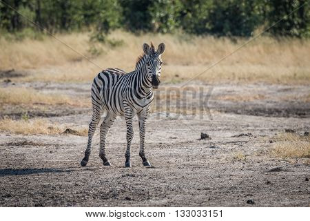 Young Burchell's Zebra Standing Staring At Camera