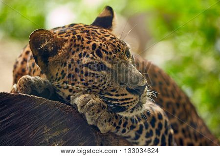 Leopard lying on a tree
