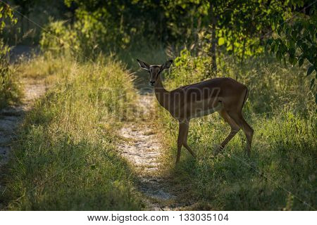 Backlit female impala crossing sunlit woodland track