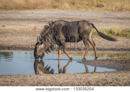 Blue wildebeest leaning to drink from pool