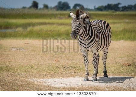 Burchell's zebra on grassy plain facing camera
