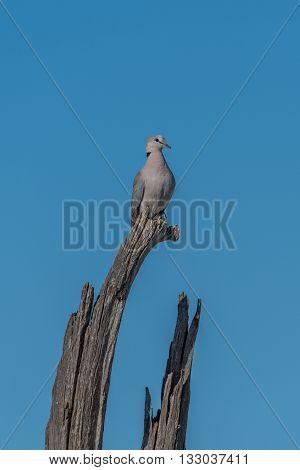 Cape turtle dove on dead tree stump
