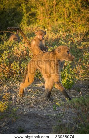 Chacma baboon walking with baby on back