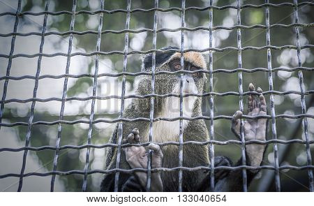 Monkey in a cage sadly gazes into the distance.