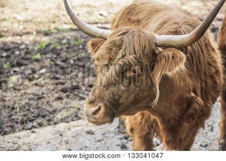 Close up of scottish highland cow in stall.