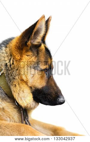 dog breed German Shepherd on a white background