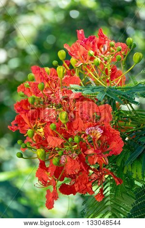 Orange Flowers - Flam-boyant The Flame Tree or Royal Poinciana