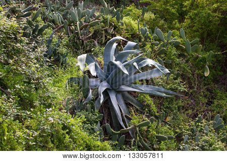 Big blue agave plant in garden Teneriffe Spain. Tequila