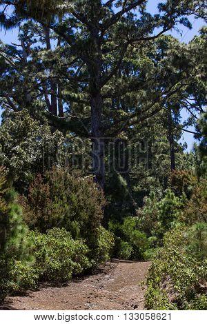 Canarian pines pinus canariensis in Tenerife road to Teide volcano. La caldera