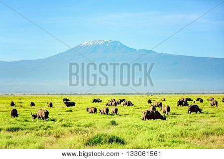 African Buffalo Herd with Kilimanjaro Mount in the background Kenya