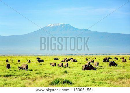 African Buffalo Herd with Kilimanjaro Mount in the background Kenya