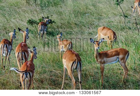 Antilope crowd in Masai Mara resort Kenya Africa