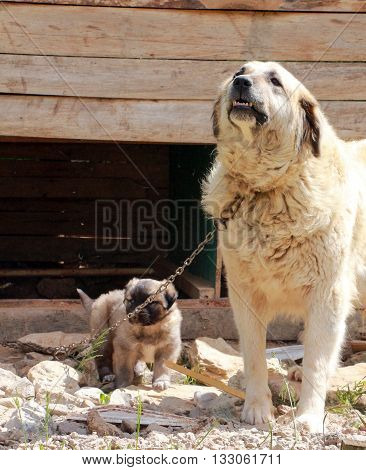 Picture of a Sarplaninec - Shara Mountain Dog Macedonian shepherd female dog with puppy