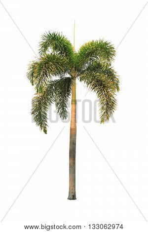 palm tree isolated on white color backgrond