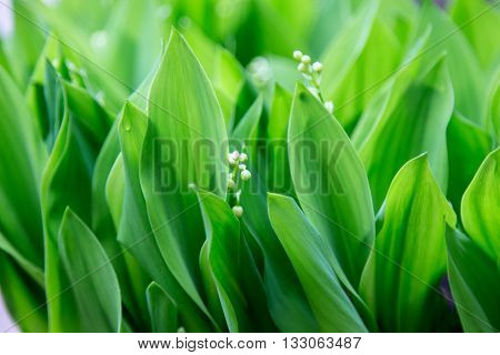 lilies of the valley, excellent green background