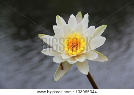 Water Lily (Nymphaeaceae) on water background, single lily.