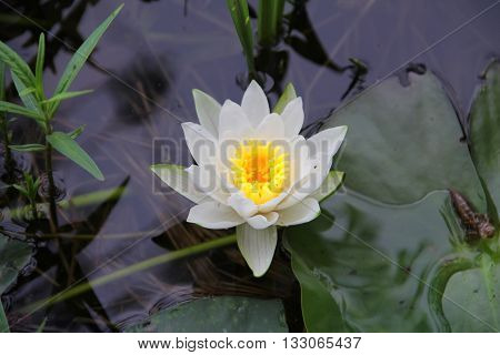 Water Lily (Nymphaeaceae) with lily pads floating in a lake.