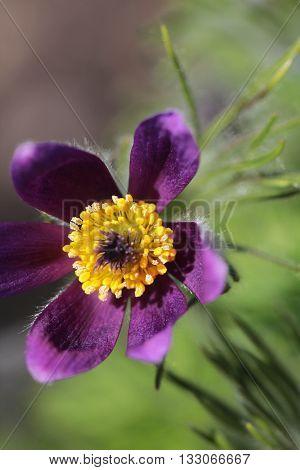 Pasque flower of purple color close up macro photo