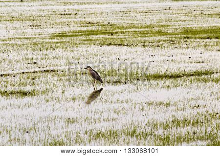 Cavaliere D'italia Walking In Rice Fields