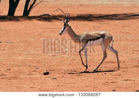 African Wildlife, Namibia, Sprigbok