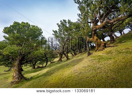 Old trees growing with big angle on the hills of Madeira island. Popular hiking route in the mountain plateau of Madeira, Portugal.