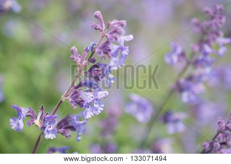 Nepeta cataria or catmint flowers in close-up.
