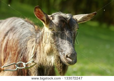 Goat's portrait close-up with green nature background